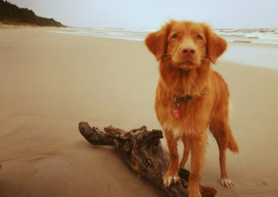 Toller Nova Scotia Retriever