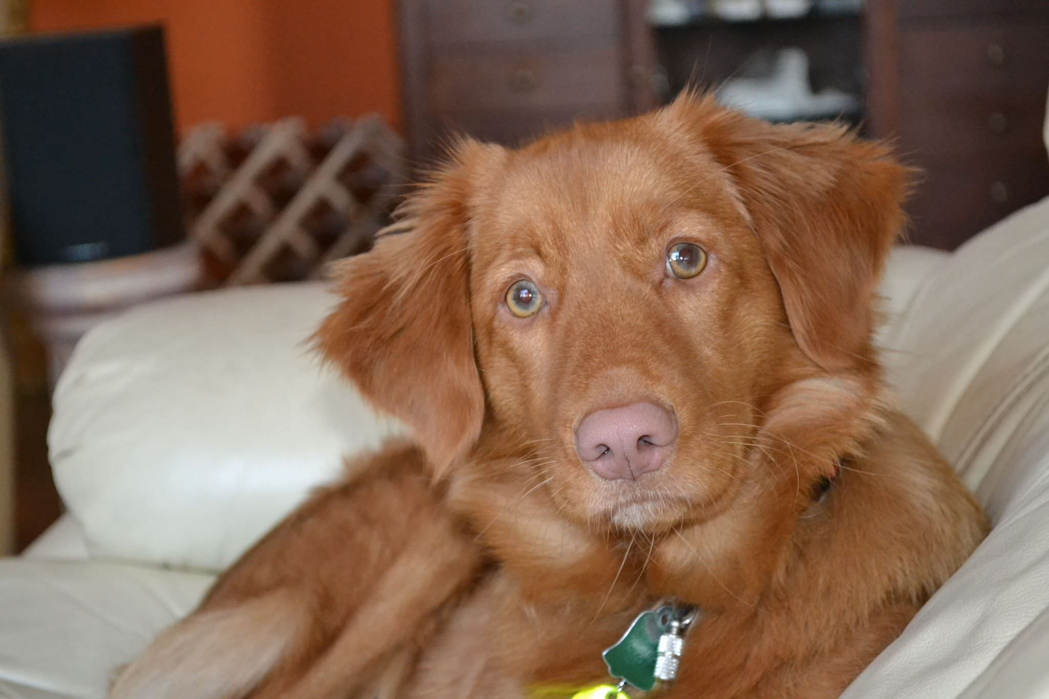 Chilla Nova Scotia Duck Tolling Retriever