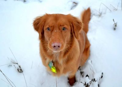Toller Chilla na śniegu