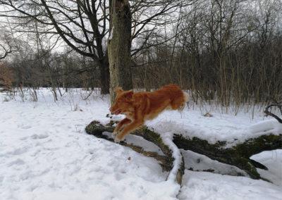 Aktywny pies Toller Gingerhood