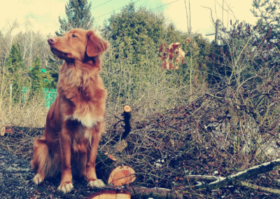 Rasa_Nova_Scotia_Duck_Tolling_Retriever